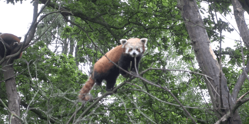 Dublin Zoo Red Panda