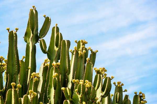 Cactus in Tenerife