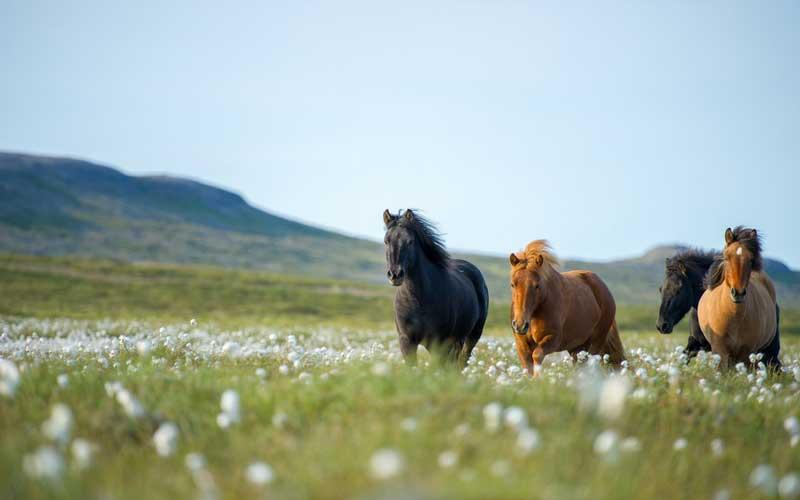 Wild horses in Iceland